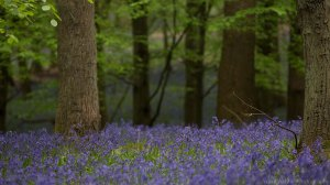 A Bluebell woodland
